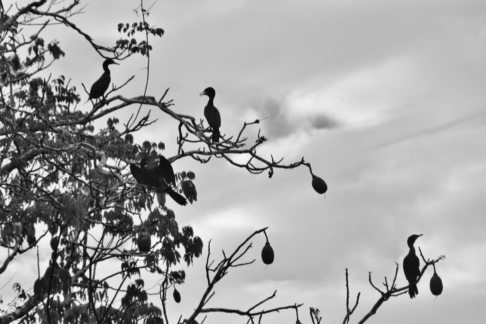 Pássaros em preto e branco