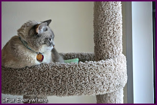 Milita hangs out in her cat tree.