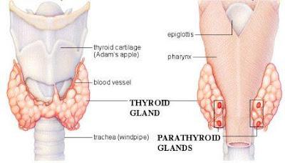 lokasi kelenjar tiroid dan kelenjar paratiroid