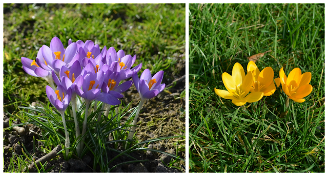 Krokusse lila und gelb