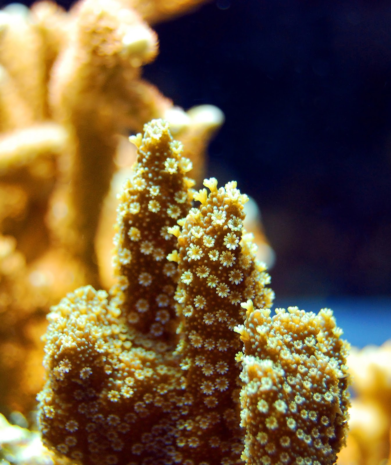 Picture of a daisy coral.