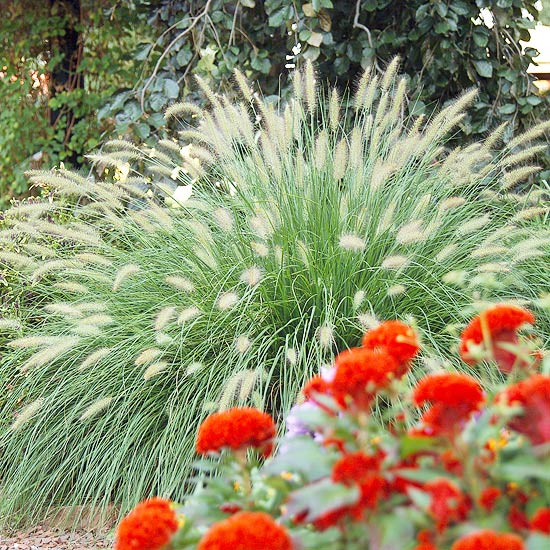 7 awesome ornamental grasses for every cottage garden for Fountain grass varieties