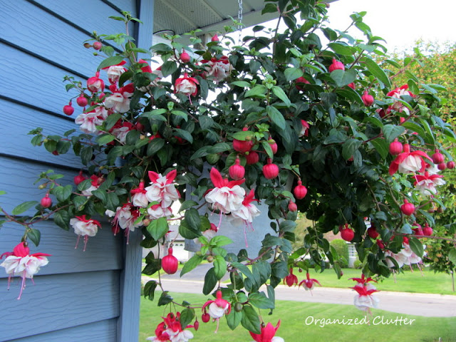 Swingtime Fuchsia Planted in a Galvanized Bucket