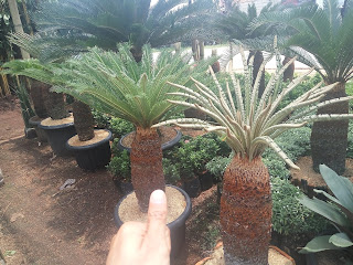 Harga Pohon sikas
