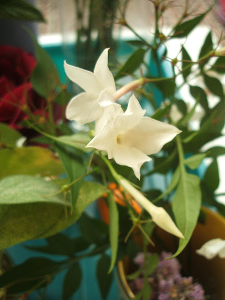 homegrown jasmine used in sensory activity