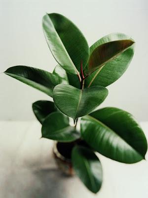 Image result for φυτά βόμβες οξυγόνου