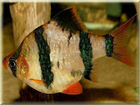 Tiger Barb Fish Pictures