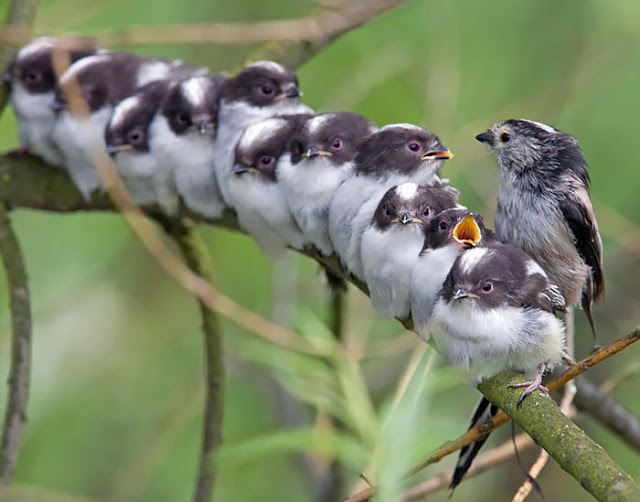 أكثر 30 صورة رائعة للطيور cute-bird-parents-27