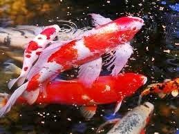 Tips Membeli dan Memilih Ikan Koi