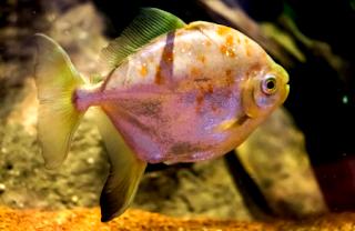 Ikan hias silver dollar