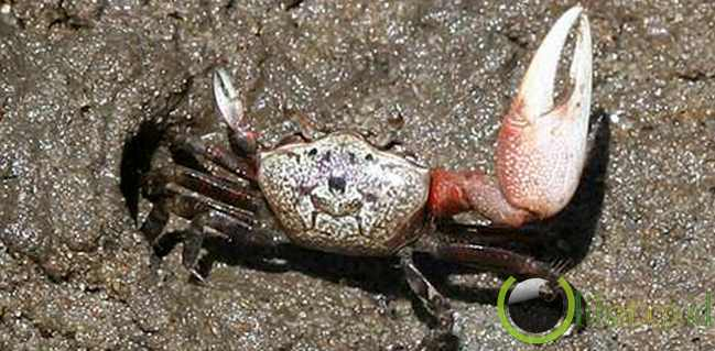 Kepiting Uca