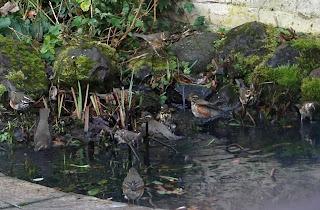 wildlife, birds, redwings, pond,