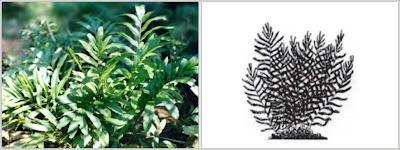Pohon Acrostichum speciosum Wild.