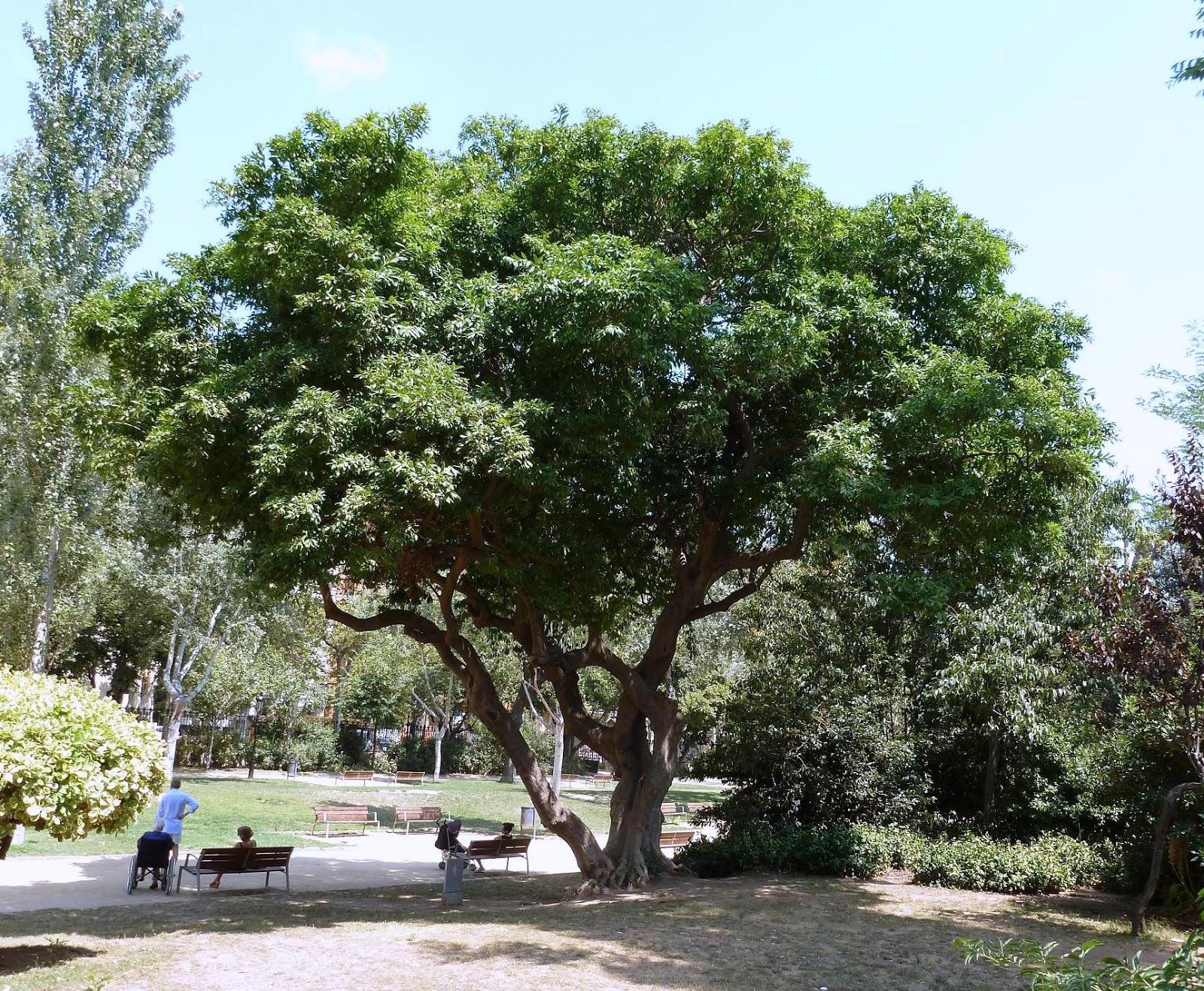 Rboles con alma c culo cocul cocculus laurifolius for Arboles jardin hoja perenne