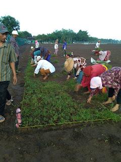 Rumput lamuran untuk konsumen di pasuruan jawa timur tahun 2021
