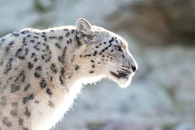 fantastic Facts About Snow Leopards