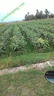 cara menanam terong berbuah lebat