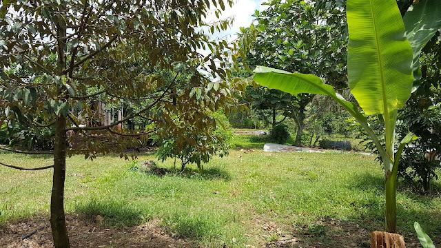 Thăm vườn sầu riêng tháng 4.2017