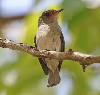 Burung sikatan sumba atau Sumba brown flycatcher (Muscicapa segregata) adalah jenis burung pengicau dari keluarga Muscicapidae