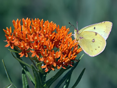 clouded sulphur on butterfly weed