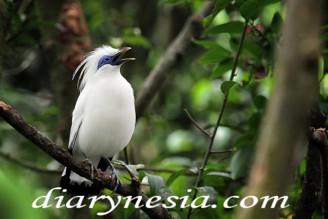 Bali myna animal, rothschild's mynah, bali starlings habitat in indonesia, diarynesia