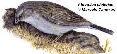 nido de Yal chico Phrygilus plebejus