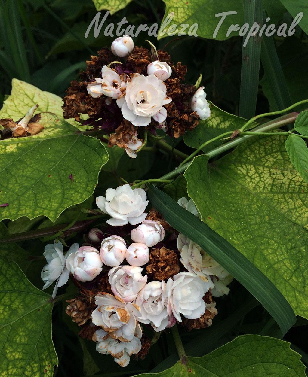 naturaleza tropical el arbusto jazmincillo debes
