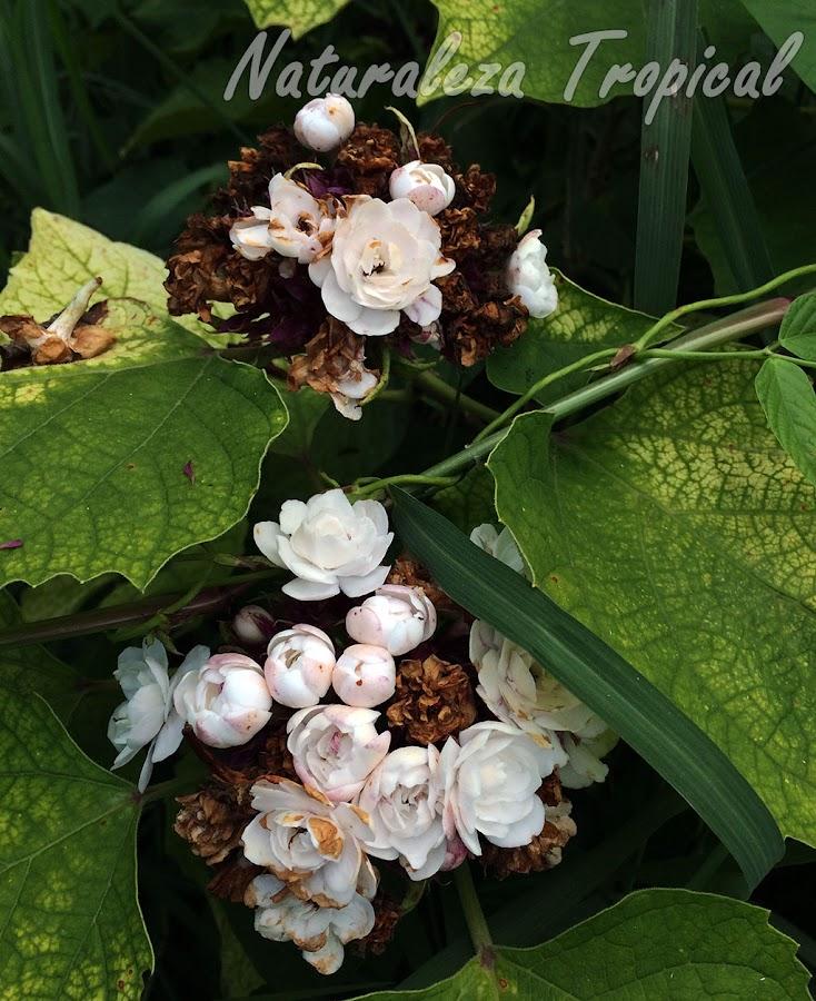Otra foto de la planta ornamental llamada Jazmincillo, Clerodendrum chinense