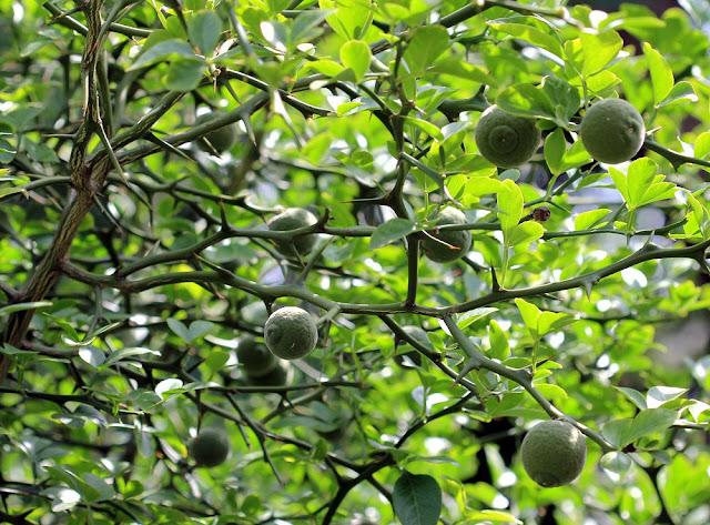 Chanh chua - Một loại Chỉ Thực - Citrus sp - Nguyên liệu làm thuốc Chữa Bệnh Tiêu Hóa