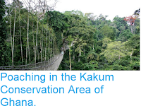 https://sciencythoughts.blogspot.com/2018/04/poaching-in-kakum-conservation-area-of.html