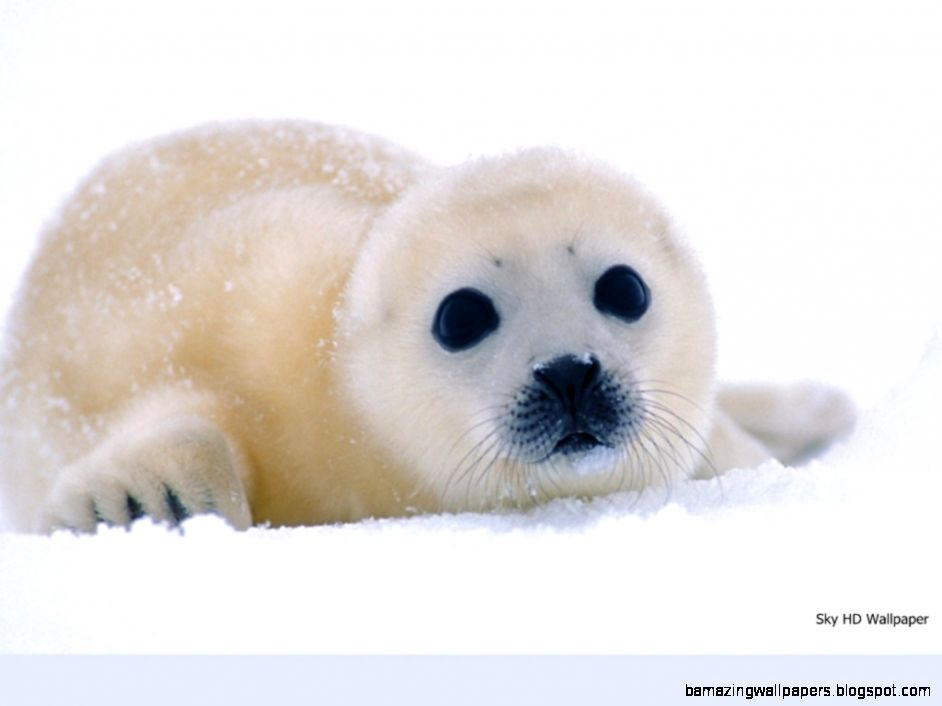 Baby Harp Seal Wallpaper | Amazing Wallpapers
