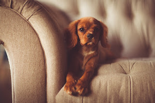 A new post at Psychology Today looks at research on whether we should pet dogs, like this little dog on a sofa, before we go out