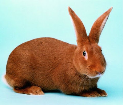 jenis kelinci new zealand red