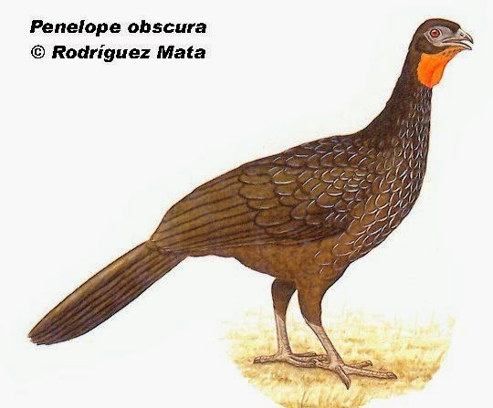 Pava oscura: Penelope obscura