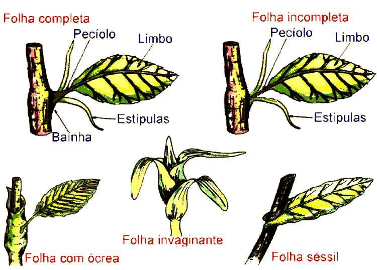 #Folha, Estrutura Morfológica das Folhas