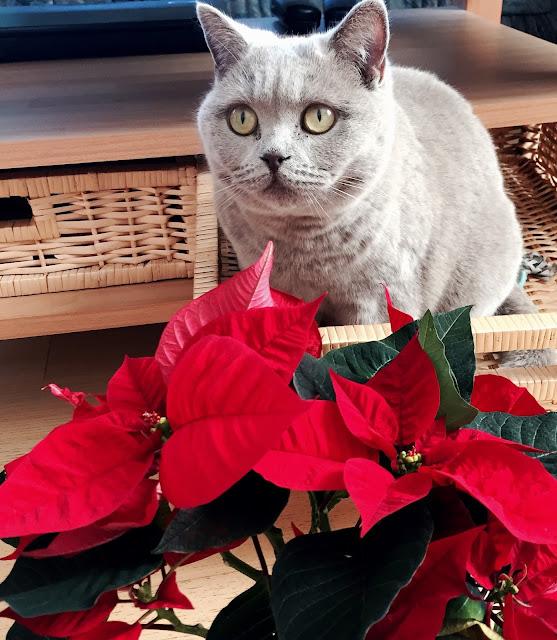 Adventszeit - Vorfreude auf Weihnachten Katze, Britisch Kurzhaar, Weihnachtsstern