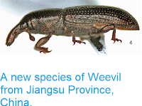 http://sciencythoughts.blogspot.co.uk/2015/02/a-new-species-of-weevil-from-jiangsu.html