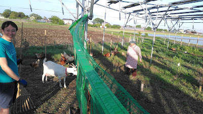 Goats and chickens under solar panels.