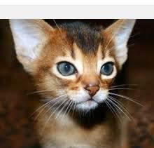 Abyssinian Cat Diet