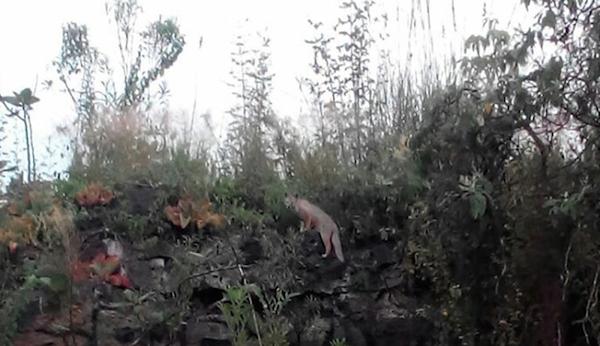 Zorra gris es vista por primera vez en 10 años en una reserva de la UNAM