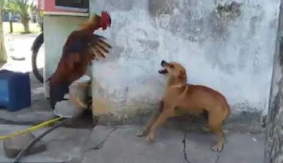 Anjing Tantang Ayam Jantan, Siapa yang Menang?