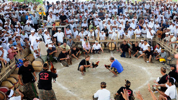 http://www.carabermain.tk/2017/11/sejarah-asal-usul-tradisi-sabung-ayam_18.html