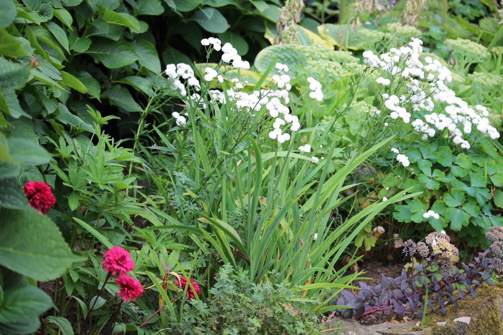 Ancolies compagnie les floraisons du moment for Jardin fleuri lyon 9