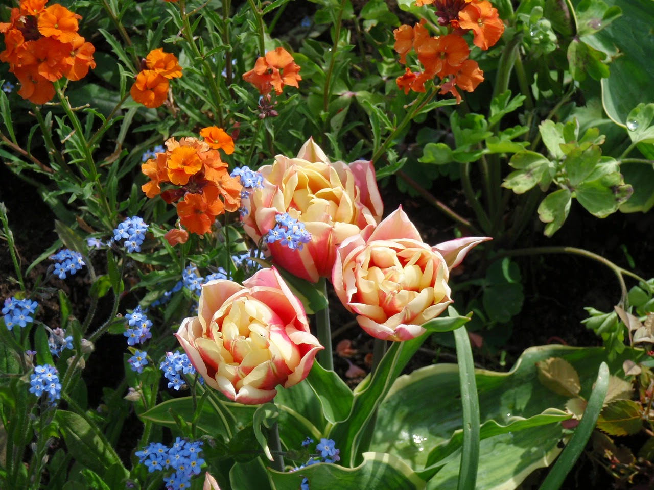 Tulips, forget-me-nots and Erysimum