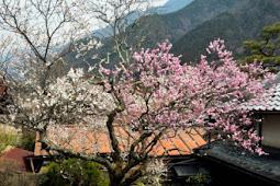 一本の木に紅白の花が咲き分ける珍しい梅