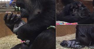 H υπέροχη στιγμή που μαμά γορίλας αγκαλιάζει και φιλάει το νεογέννητο μωρό της