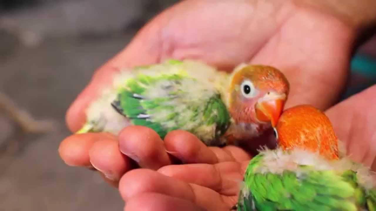 anakan lovebird umur 1 bulan