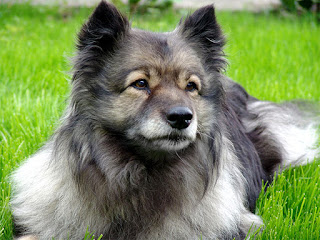 Everything about your Keeshond