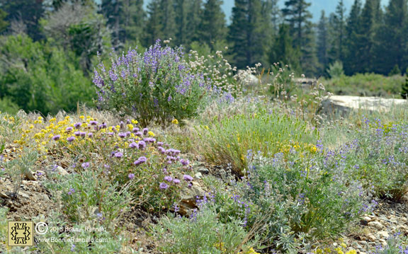 Wildflowers in the Conway Summit, California