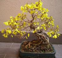 forsythia bonsai